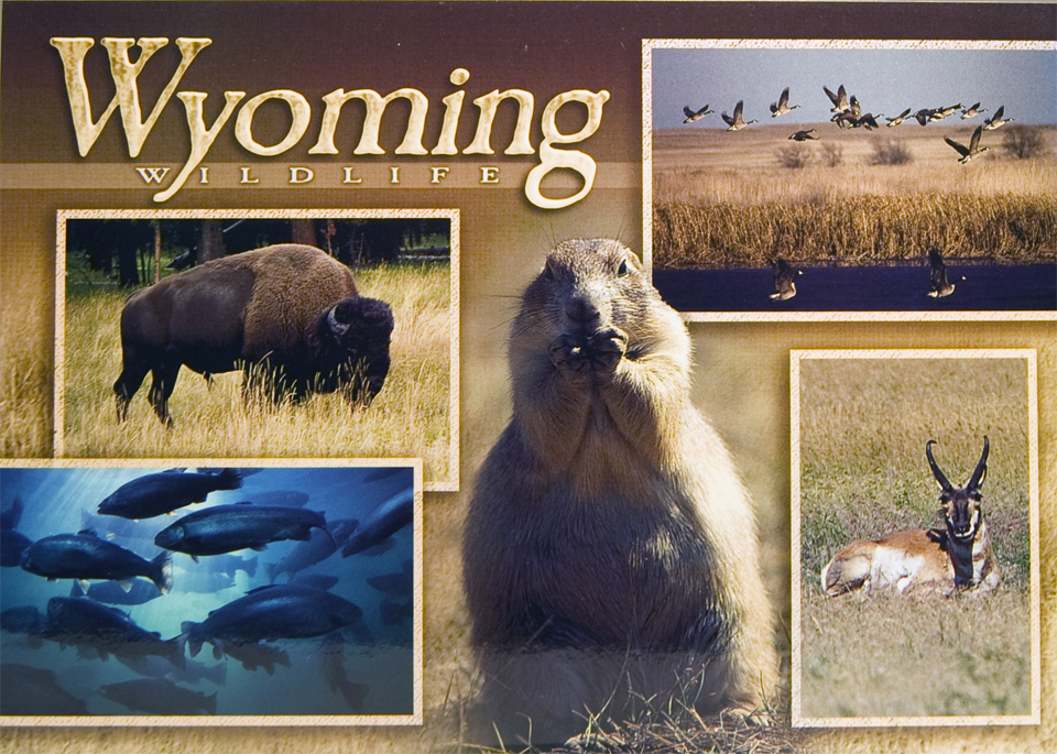 WYOMING WILDLIFE POSTCARD